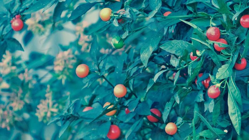 Tomatoes ? photo