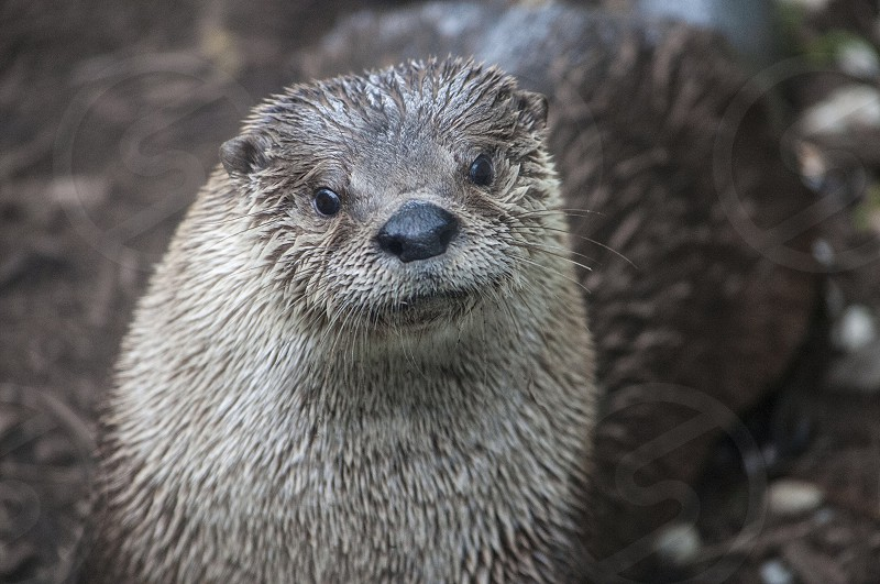 Animal otter wildlife cute face fur wet adorable  photo