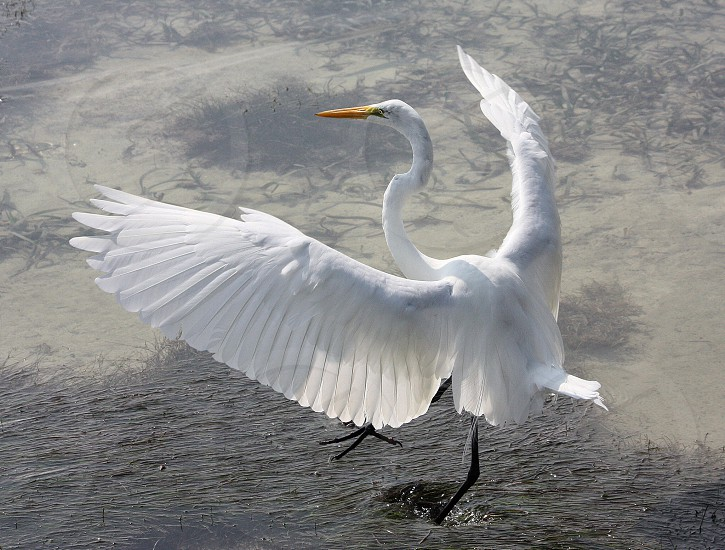 Great egret in water Belize photo