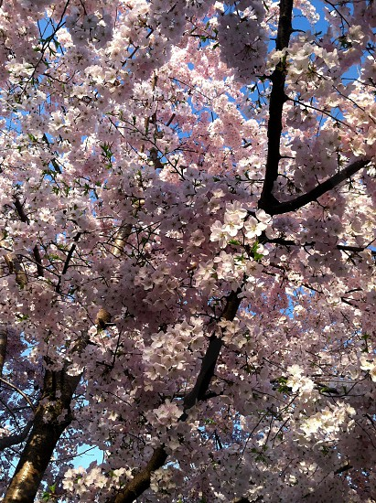 Cherry Blossoms in Washington DC photo
