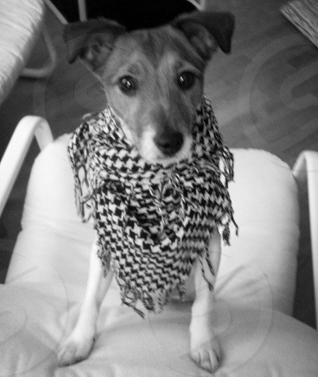 short coated dog sitting wearing checkered scarf on white arm chair photo