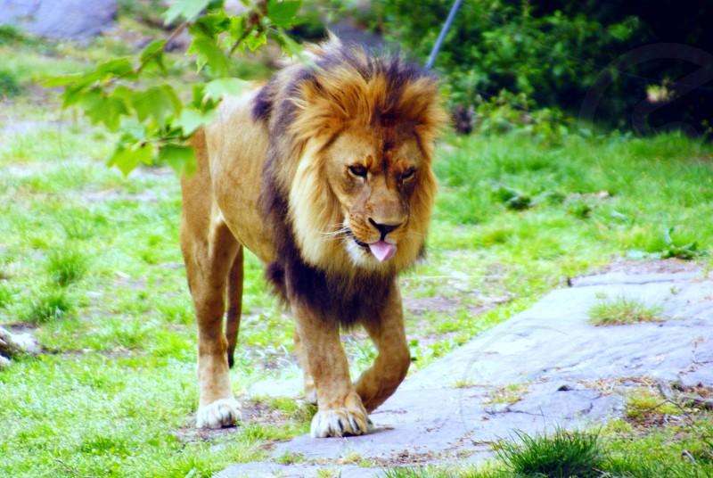 lion walking on grass during daytime photo