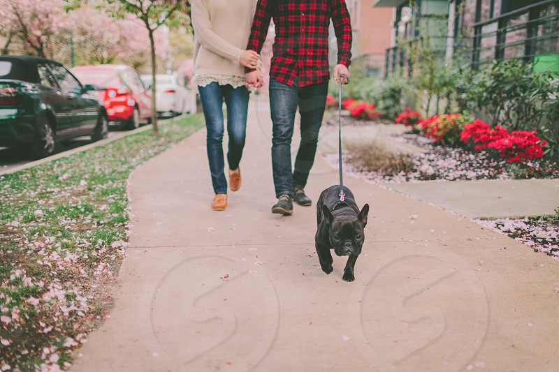 A couple walking their french bulldog on the sidewalk in Spring. photo