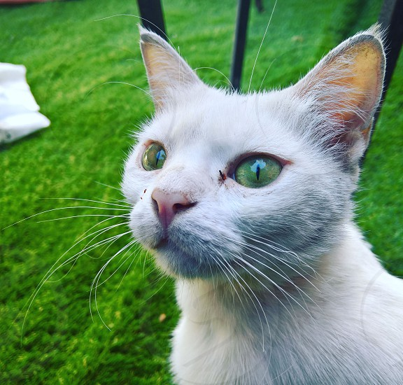 This pics for a beautiful white cat with green eyes  its eyes were so beautiful that I decided to shot a pics of her green eyes with the grass photo