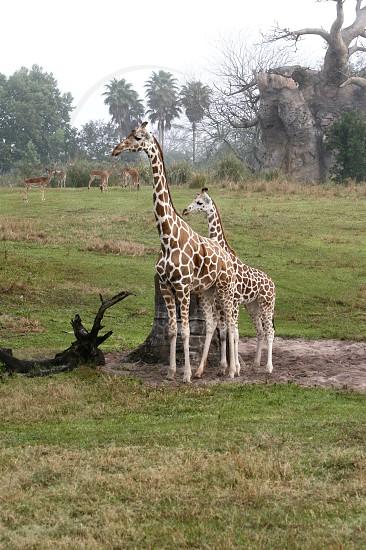 Momma and baby giraffe. Beautiful sweet creatures. photo
