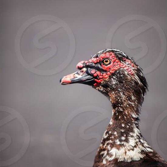 Bird; duck; wildlife; nature; South Carolina photo