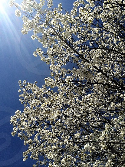 tree with white flowers photo