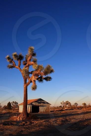 A Joshua tree and barn side lit with long shadows photo
