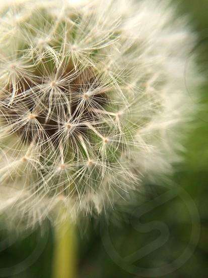 Hidden Dandelion  photo