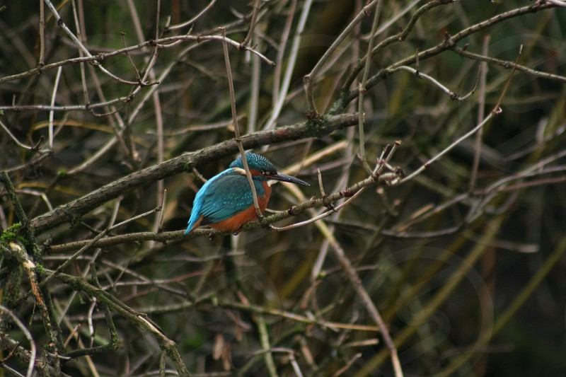 Kingfisher waiting quietly in the trees! photo