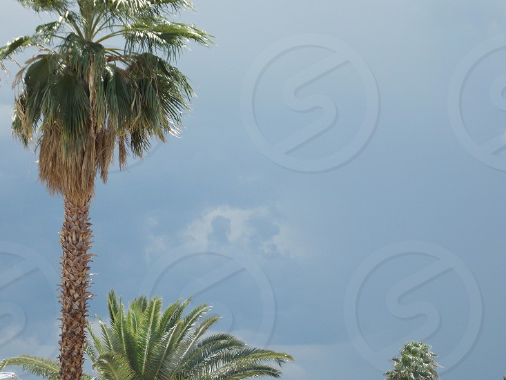 Palm tree clouds gray photo