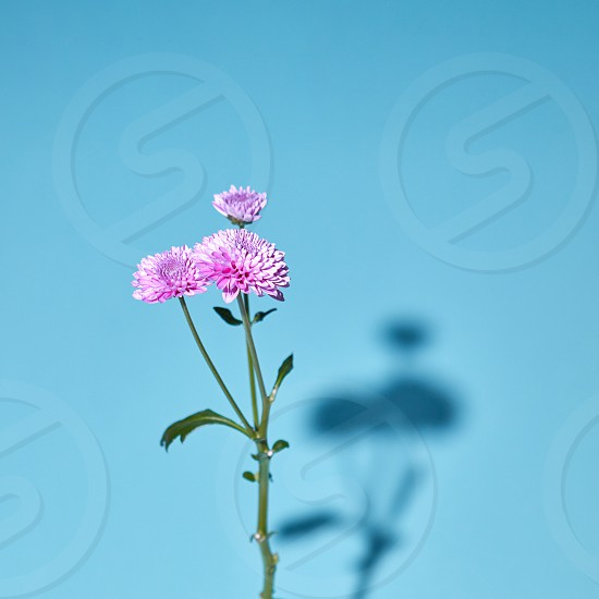Pink chrysanthemum flower in bloom with green leaves on a blue background with soft shadows and soft focus. photo