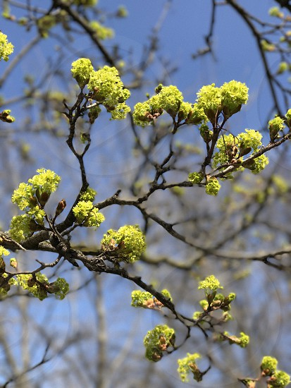 Buds spring blue sky tree photo