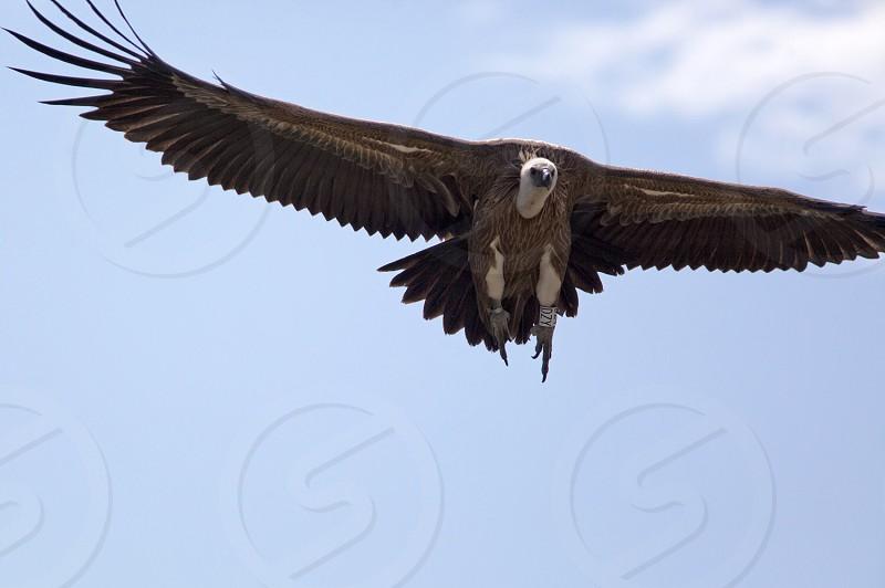 Griffon vulture Gyps fulvus - Rocher du Caire Drôme Provençal France photo