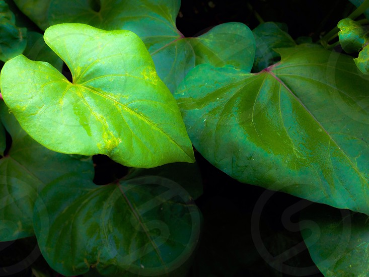 ivy leafs up close photo
