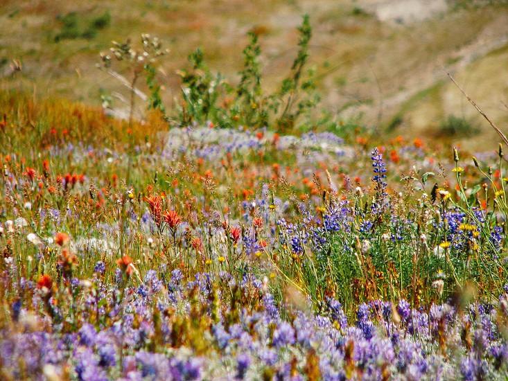 Wild flowers returning to Mt. Saint Helens Blast Site. photo