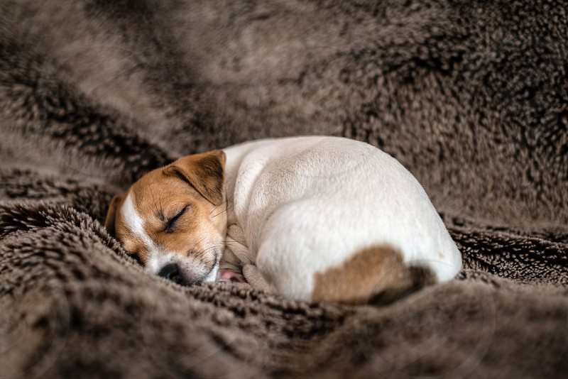 Jack Russell puppy lying on a brown blanket. photo