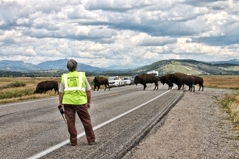 Seen from behind a park ranger watches bison or buffalo cross a road photo