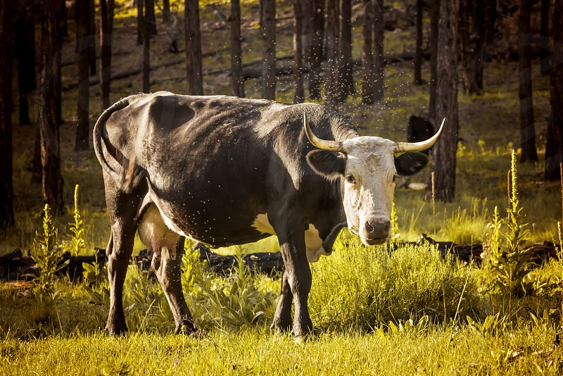 Cow grazing on the Arizona green grass photo