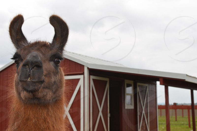 Llama in-front of red barn photo