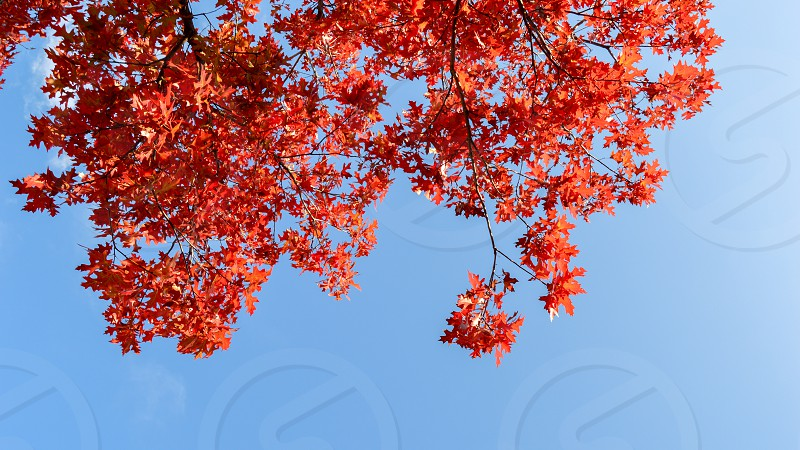 Autumn Fall colorful tree leaves with blue background  photo