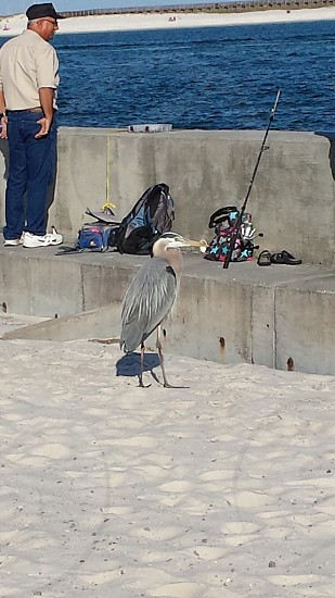 Blue Heron waiting for a treat Mobile Alabama photo