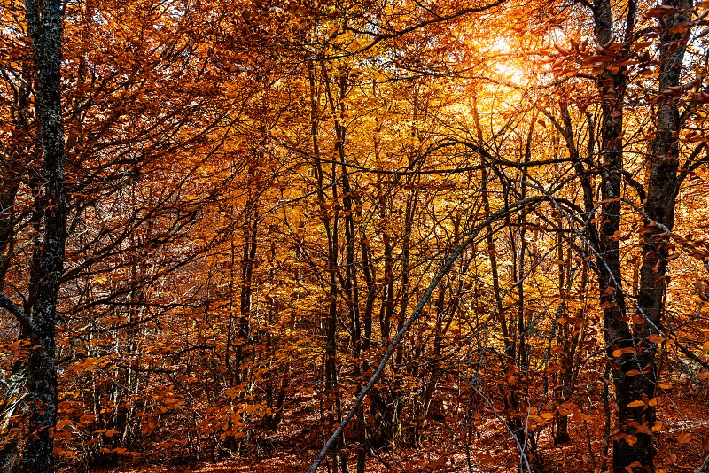 Beech forest in Autumn time a sunny day. Full frame of treet trunks photo