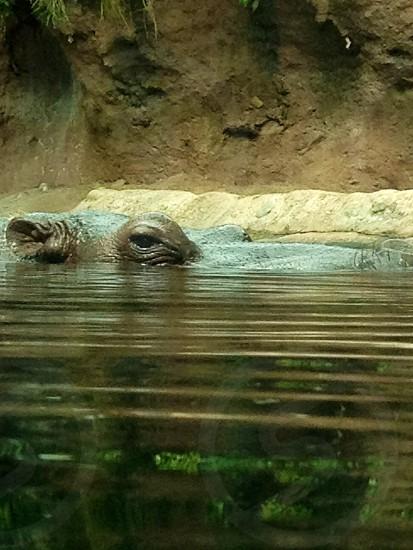 Hippopotamus peeking out of water.  photo