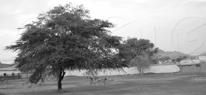grayscale photography of tree photo