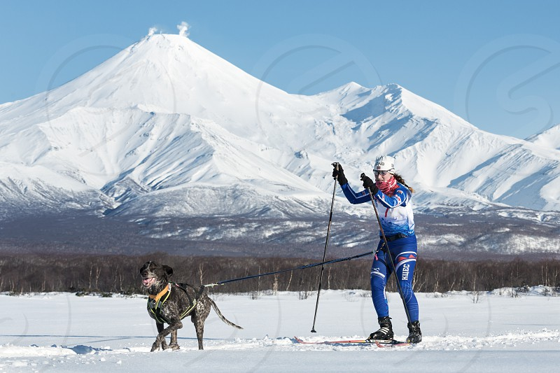 PETROPAVLOVSK KAMCHATKA PENINSULA RUSSIA - DEC 10 2016: Skijoring - competition for Cup of Kamchatka Region on background of Avacha Volcano. Skier-racer Klimova Galina and sled dog kurtshaar Argo. photo