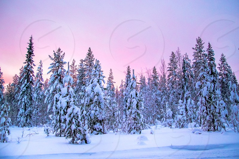 During polar night in Lapland (Finland) the sun doesn't set above the horizon. The result is a magical pink glow for a couple of hours per day.  photo