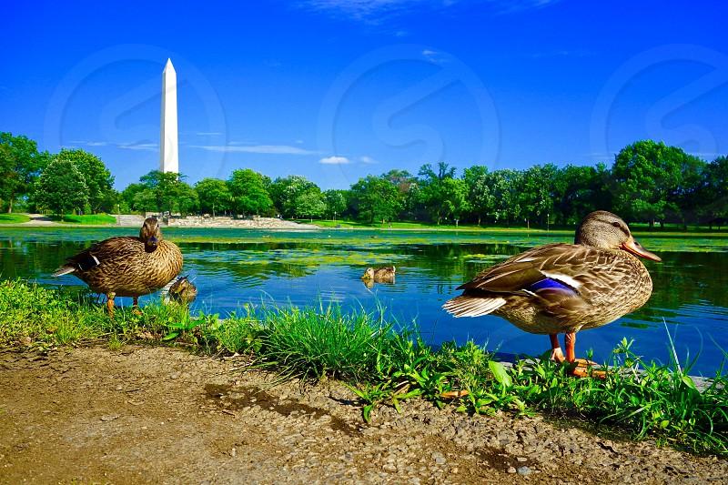 D.C. Ducks photo