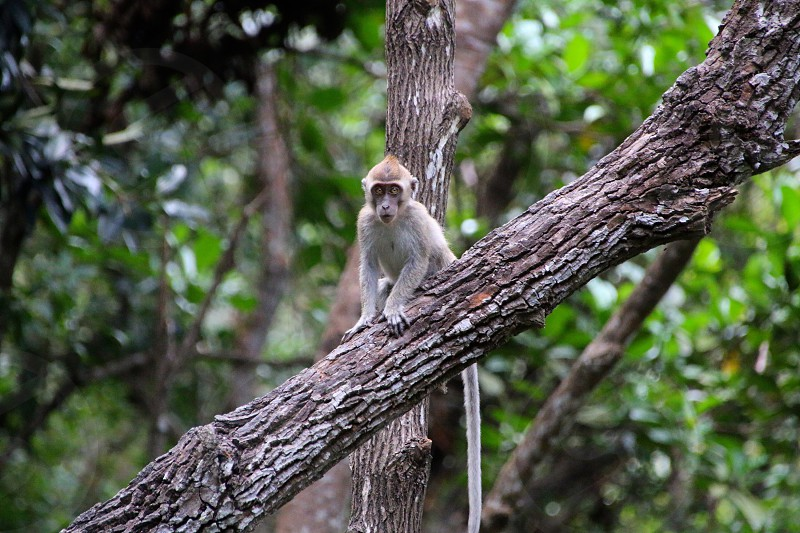 Baby long tailed Macaque in the jungle of Borneo at Kota Kinabalu photo