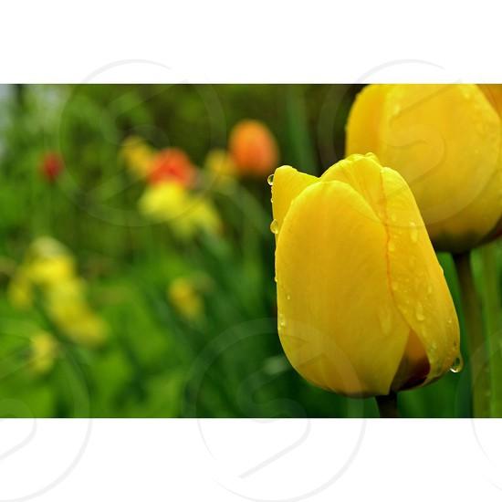 Morning Tulip Dew  photo