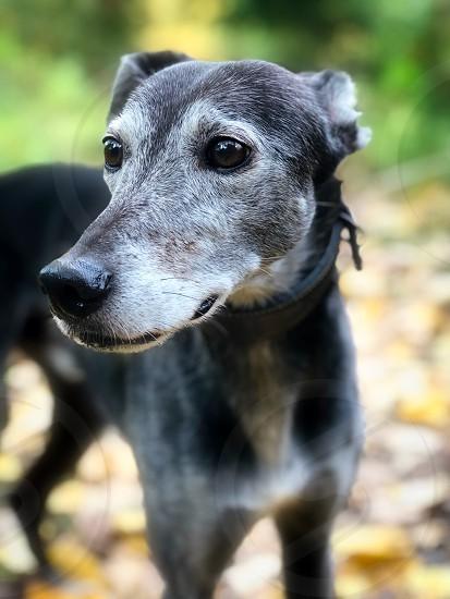My pet Lurcher 'Max' photo
