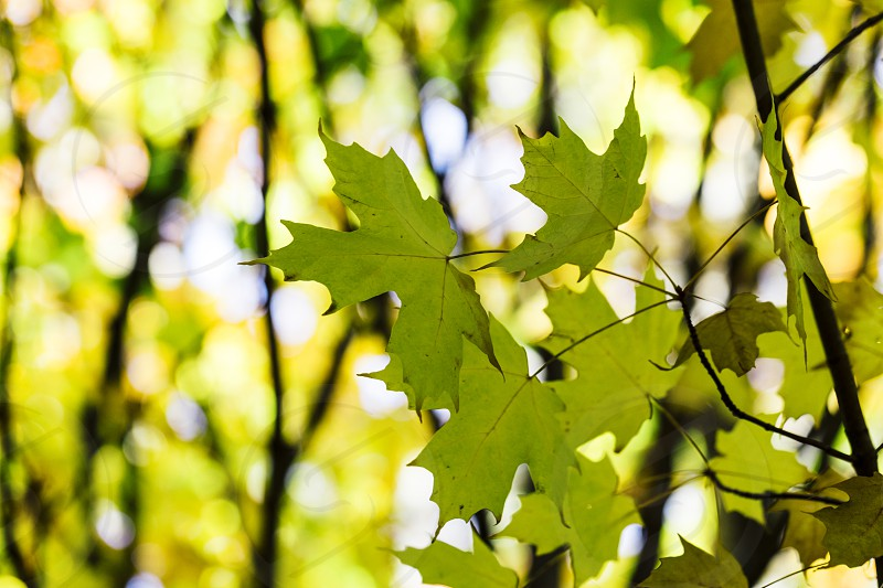 maple leaves green macro close-up abstract backgrounds photo