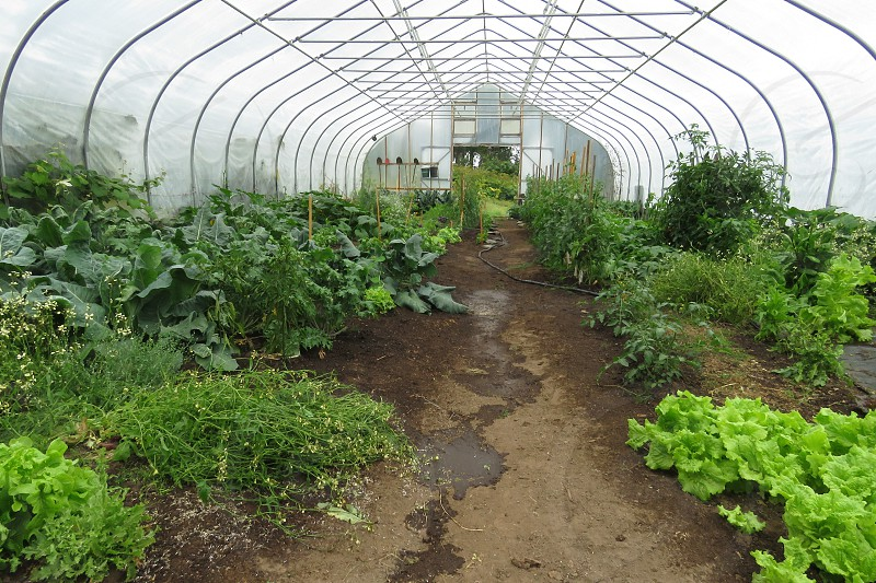 The summer family garden with lots of vegetables in the high tunnel. photo