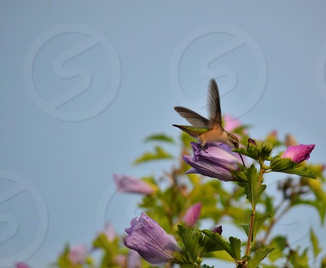 hummingbird drinking hibiscus photo
