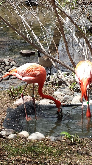 Flamingos drinking water at the Denver zoo photo