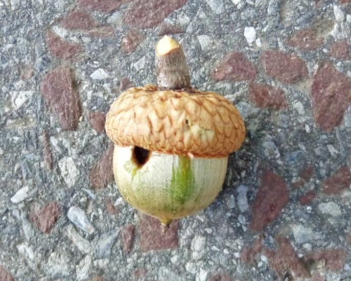 acorn macro texture photo