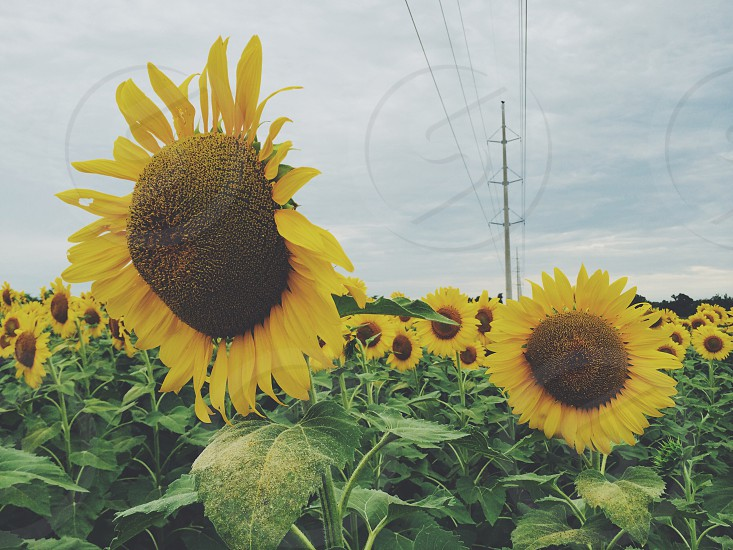 Sunflowers nature field  photo