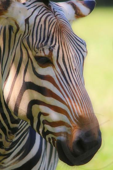 black brown and white zebra photo