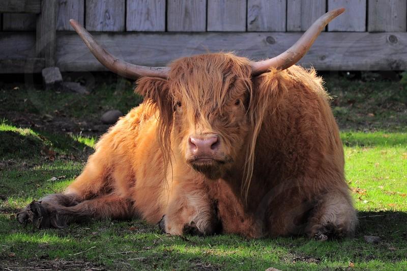 brown long haired 4 legged animal lying on green grass photo