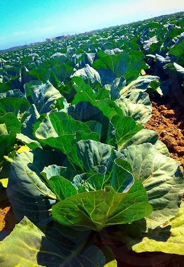 Farm Cabbage Harvest Agriculture photo