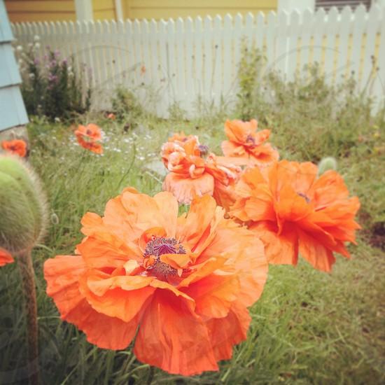 Orange poppies and picket fences Colorado photo