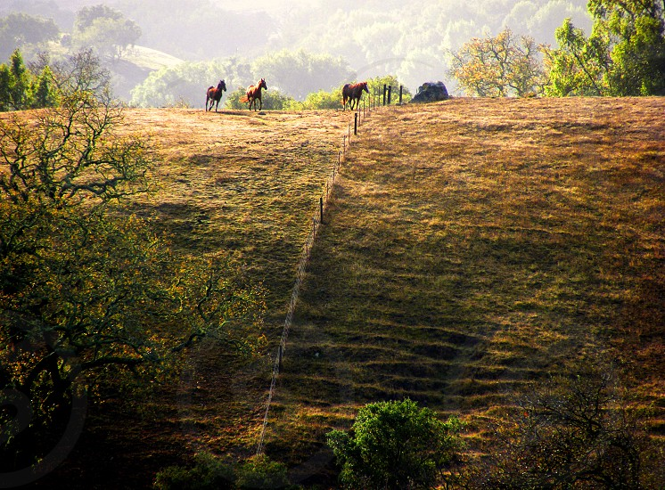 Seen in a distance three horses  trot across a hill in the morning mist photo