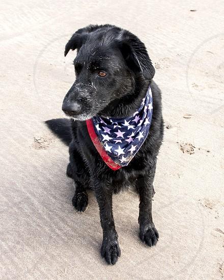 Dog on the beach wearing American flag bandana photo