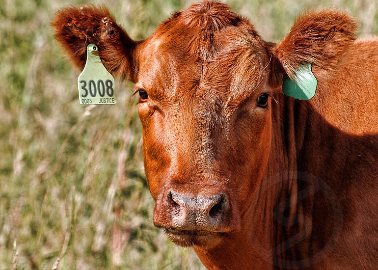 Close-up of a brown cow with ear tags photo