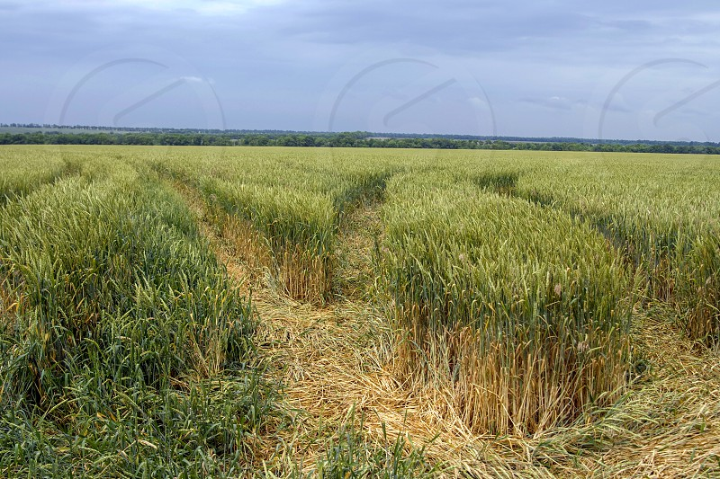 Landscape with a wheat field photo
