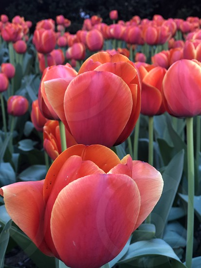 Tulips from NYC photo